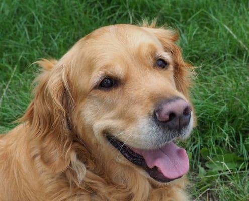Wat is het effect van een therapiehond tijdens logopedie
